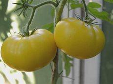 Почему чернеют зеленые помидоры