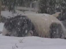 Реакция панды на первый снег в жизни.